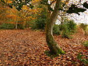 AUTUMN, TWISTED TREE