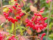 autumn. berries