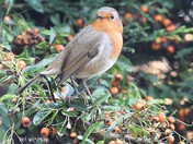 Robin eating autumnal berries