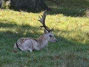 Deer at Helmimgham Hall Grounds