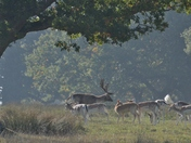 Deer at Helmimgham Hall Grounds