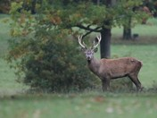Stags and Deer