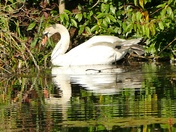 Serene swan on West Stow lake.