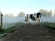 Cows on the way to the pastures early morning on Fen Farm. this week.