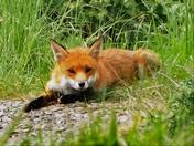 Castle Batch Fox