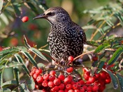 Starling and the flying berry