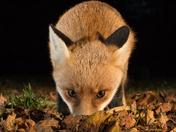 Autumn  colours. Mr Fox