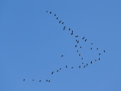 HIGH UP.GEESE FLYING OVER