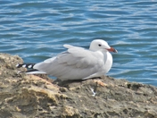 Audouin's Gull (I think)
