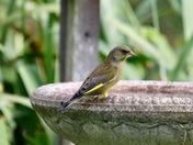 Greenfinch on the bird bath.