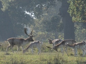 Deer at Helmingham Hall grounds