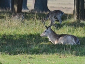 Deer at Helmingham Hall grounds