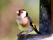 Goldfinches galour