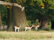 Fallow Deer at  Helmingham Hall