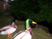 """Duck""""s"""