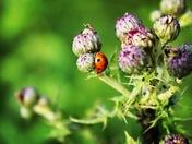 Closeup of a ladybug