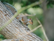Squirrel at Felbrigg