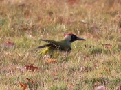 green woodpecker foraging for food