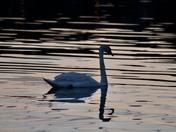 Swan at night