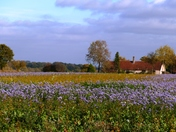 Field of Blue Phacelia brings a splash of colour to November Day.