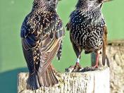 Felixstowe starlings