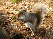 Grey Squirrel in the Abbet Gardens.