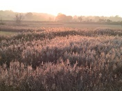 reed beds illuminated by the light of the setting sun