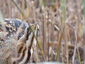 In the reeds at Island Mere RSPB Minsmere