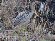 Bittern off more than i can chew