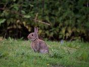 A juvenile european rabbit