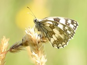 A marbled white butterfly