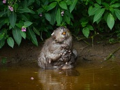 An Adult female beaver grooming on the river otter