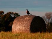 Pheasant surveying the Norfolk countryside