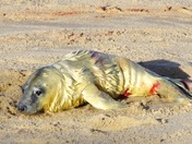 Newborn grey seal pup at Horsey