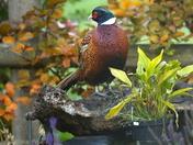 Pheasant in the garden.