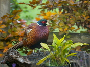 Pheasant in the garden.