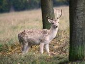 Deer at Helmingham