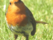 Photo Challenge red: Robins in the garden