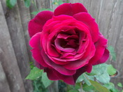 A  RED ROSE OF ENGLAND AND OTHER REDS