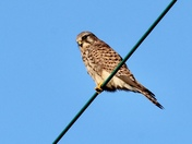 'Bird on a wire' a beautiful juvenile kestrel waiting for a rustle in the grass