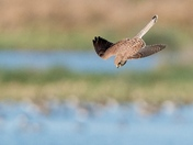 Kestrel on the hunt.