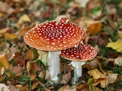 At last - the fly agaric has come up!