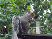 A GREY SQUIRREL ON THE GARDEN FENCE