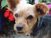 Inquisitive Yorkshire Terrier