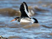 Flying Oystercatcher