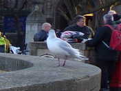 GULLS ON NORWICH MARKET