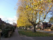 LONDON PLANE TREES IN NORWICH
