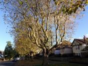 LONDON PLANE TREES IN NORWICH