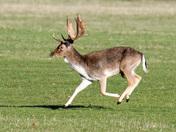 Holkham park Deer