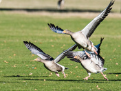 Geese at Holkham